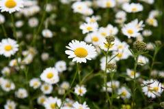 Prado de la flor de la margarita Fotografía de archivo