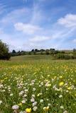 Prado de la flor del verano Foto de archivo libre de regalías