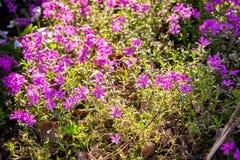 Prado de la flor de la lila debajo de la sombra de un árbol en el jardín Fotos de archivo libres de regalías