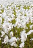 Prado de la hierba de algodón Foto de archivo libre de regalías