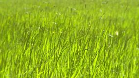 Prado de la hierba en un día ventoso almacen de metraje de vídeo