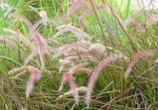 Prado de la hierba o del Pennisetum de la misión con la flor Fotografía de archivo