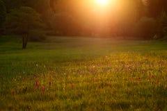 Prado de la mañana con las flores salvajes de la orquídea Salida del sol en naturaleza Marsh Orchid hojoso, majalis del Dactylorh Fotos de archivo libres de regalías