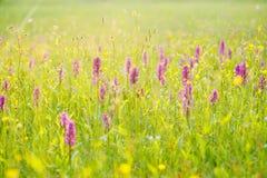 Prado de la mañana con las flores salvajes de la orquídea Salida del sol en naturaleza Marsh Orchid hojoso, majalis del Dactylorh Fotografía de archivo libre de regalías