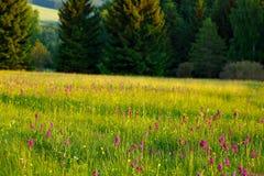 Prado de la mañana con las flores salvajes de la orquídea Salida del sol en naturaleza Marsh Orchid hojoso, majalis rosados del D Fotos de archivo libres de regalías