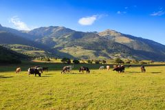 Prado de la montaña con el pasto de vacas Imagen de archivo libre de regalías