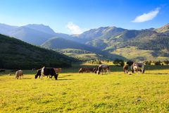 Prado de la montaña con el pasto de vacas Fotografía de archivo libre de regalías