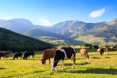 Prado de la montaña con el pasto de vacas Fotos de archivo libres de regalías