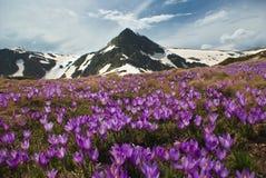 Prado de la montaña con el azafrán Foto de archivo