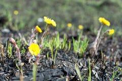 Prado de la primavera botellas de la contaminación ambiental el amarillo florece el coltsfoot Imagen de archivo