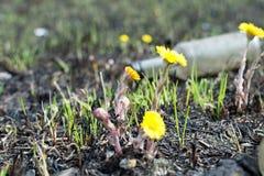 Prado de la primavera botellas de la contaminación ambiental el amarillo florece el coltsfoot Imagenes de archivo