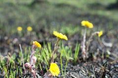 Prado de la primavera botellas de la contaminación ambiental el amarillo florece el coltsfoot Fotografía de archivo