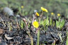 Prado de la primavera botellas de la contaminación ambiental el amarillo florece el coltsfoot Foto de archivo libre de regalías