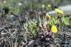 Prado de la primavera botellas de la contaminación ambiental el amarillo florece el coltsfoot Fotografía de archivo libre de regalías