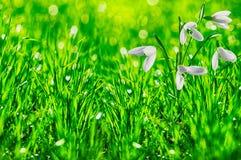 Prado de la primavera con galanthus Fotografía de archivo libre de regalías