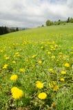 Prado de la primavera con la hierba verde y los dientes de león Fotografía de archivo