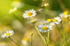 Prado de la primavera con las margaritas Imagen de archivo libre de regalías