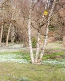 Prado de la primavera con los snowdrops y el abedul Imagen de archivo libre de regalías