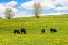 Prado de la primavera de flores minúsculas y de vacas amarillas que pastan Foto de archivo