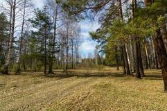 Prado de la primavera en el bosque del pino, Foto de archivo libre de regalías