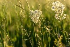 Prado de las flores blancas de Tavolga Imagenes de archivo