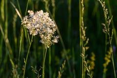 Prado de las flores blancas de Tavolga Fotografía de archivo