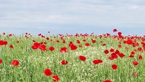 Prado de las flores de la manzanilla y de la amapola metrajes