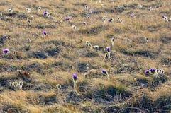 Prado de las flores florecientes de la primavera Los snowdrops Fotos de archivo