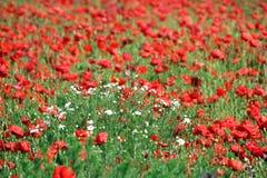 Prado de las flores salvajes Imagen de archivo libre de regalías