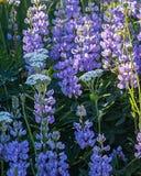 Prado de Lupines y de Yarrow Flowers Fotografía de archivo