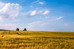 Prado de oro de la avena con el cielo nublado azul Fotos de archivo