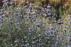 Prado de Salvia Clevelandii Purple Sage Flowering fotos de stock royalty free