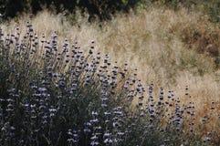Prado de Salvia Clevelandii Purple Sage Flowering imagens de stock royalty free