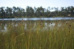 Prado de Spikerush no pantanal do parque nacional dos marismas com flores e libélulas dos pinhos Fotografia de Stock