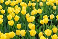 Prado de tulipanes amarillos Fotografía de archivo libre de regalías
