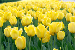 Prado de tulipanes amarillos Imagenes de archivo