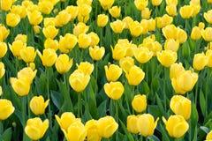 Prado de tulipanes amarillos Foto de archivo