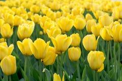 Prado de tulipanes amarillos Fotografía de archivo