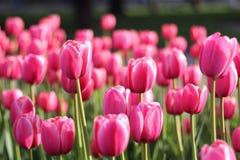 Prado de tulipanes brillantes Imagen de archivo