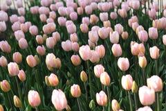 Prado de tulipanes brillantes Fotos de archivo libres de regalías