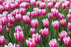 Prado de tulipanes brillantes y rosados Imágenes de archivo libres de regalías