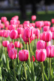 Prado de tulipas brilhantes Imagem de Stock Royalty Free