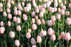 Prado de tulipas brilhantes Fotografia de Stock