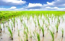Prado del arroz Foto de archivo libre de regalías