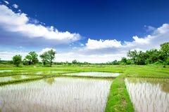 Prado del arroz Imágenes de archivo libres de regalías
