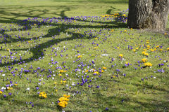 Prado del azafrán de la primavera Imagen de archivo libre de regalías