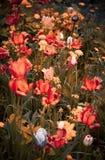 Prado del campo con las flores salvajes rojo-anaranjadas Imagenes de archivo