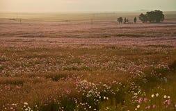 Prado del cosmos en la floración en el campo Fotografía de archivo