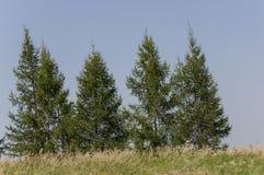 Prado del oro con los árboles verdes lejos y el cielo azul Verano tranquilo Área cultivada Agricultura Buen tiempo de la hierba a Fotografía de archivo