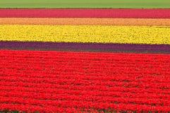 Prado del tulipán Fotografía de archivo